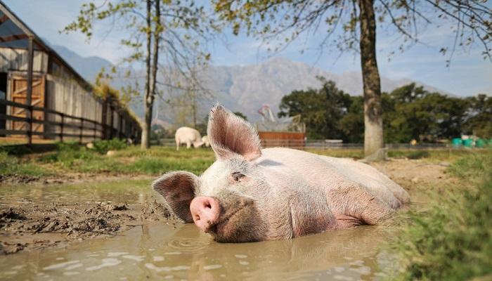 свинья на фоне грязи