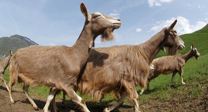 бежит коза по полю