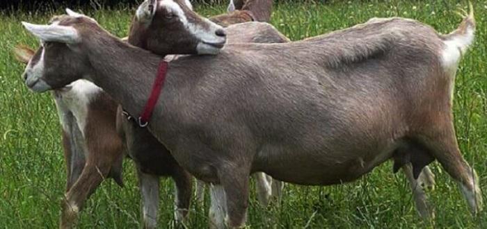обнимашки коз