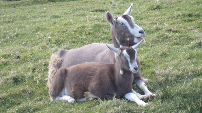 коза и козленок в поле