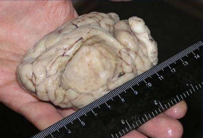 мозг овцы