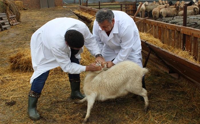 овца и два ветеринарных врача