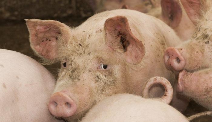 грустная больная свинья