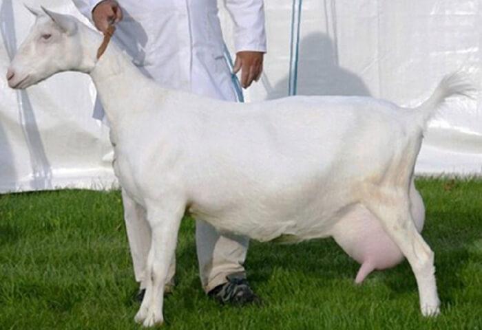 коза с выменем