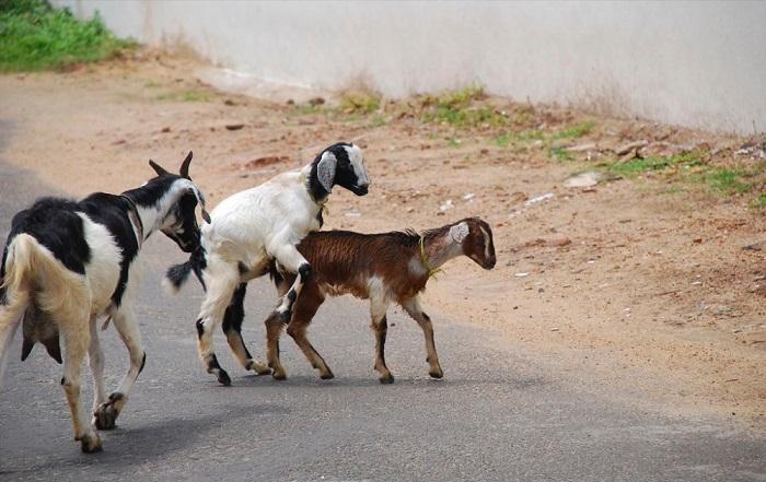 коза и козел спариваются