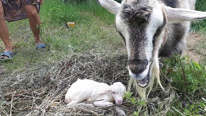 коза родила козленка
