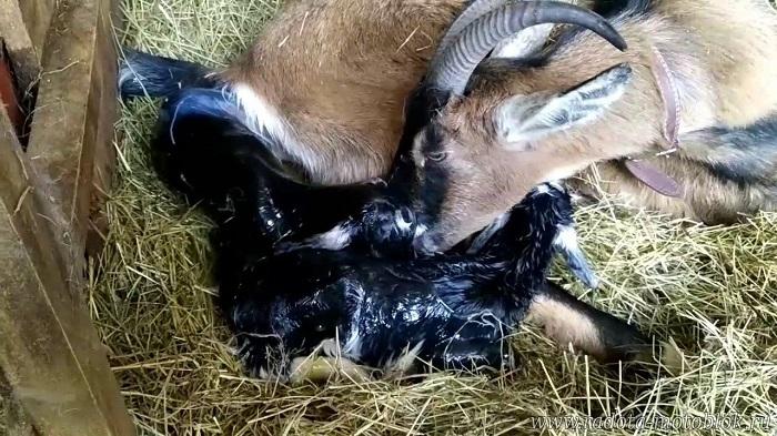 коза лижет новорожденного