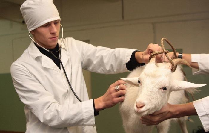 осмотр козы ветеринаром