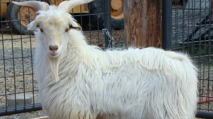 лохматая коза