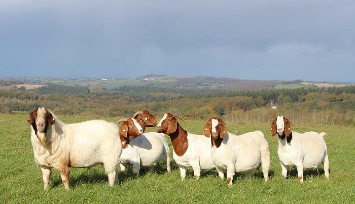 много коз на лугу