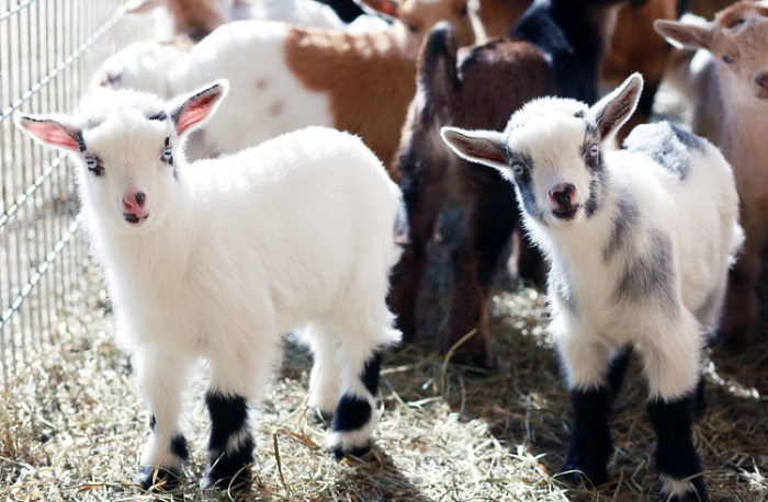 маленькие красивые козы