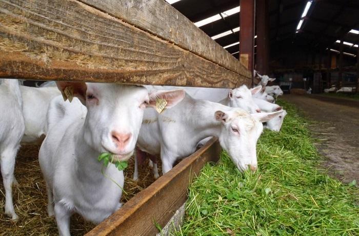 козы едят траву
