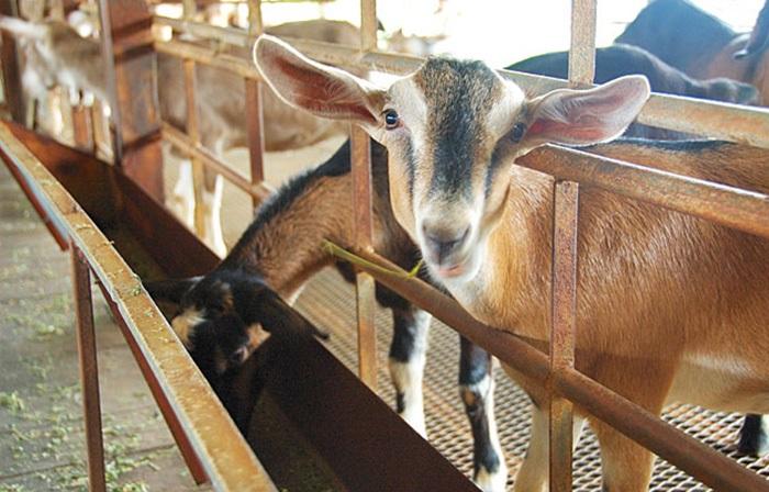 милая коза