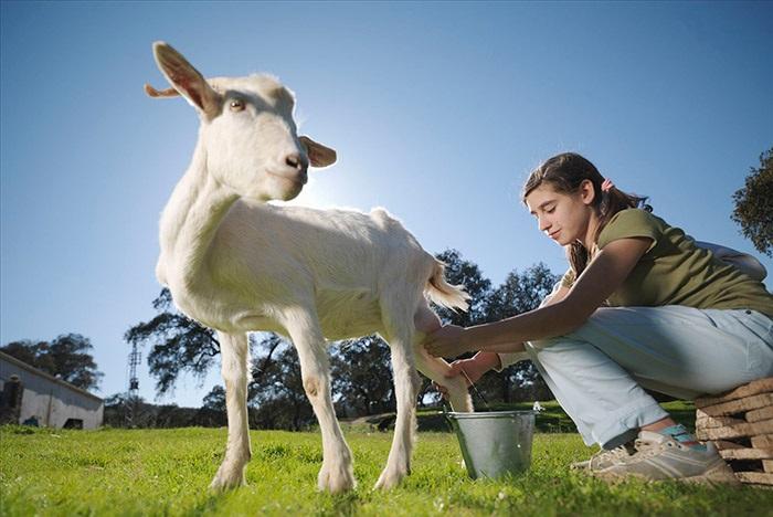 дойка козы на лугу