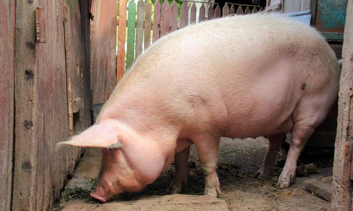свинья у забора