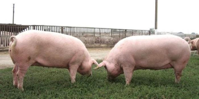 две украинские свиньи