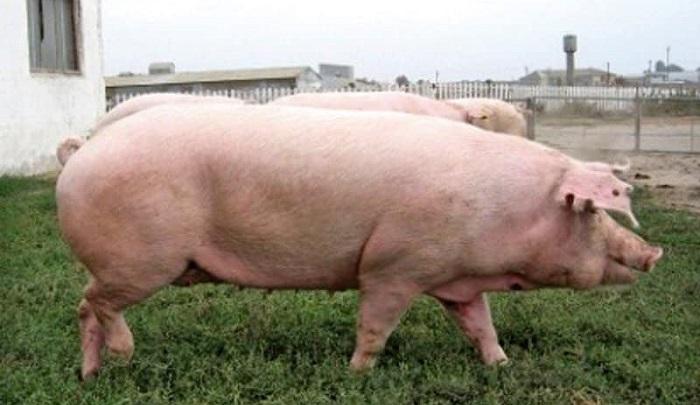 украинская свинья