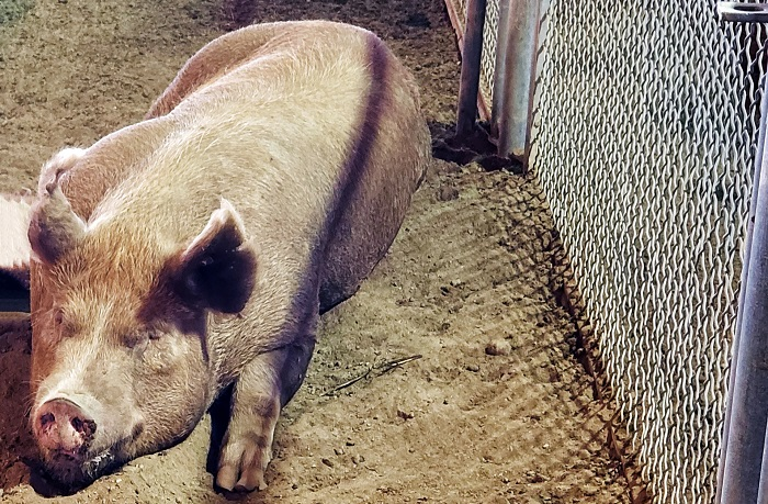 изолированная свинья