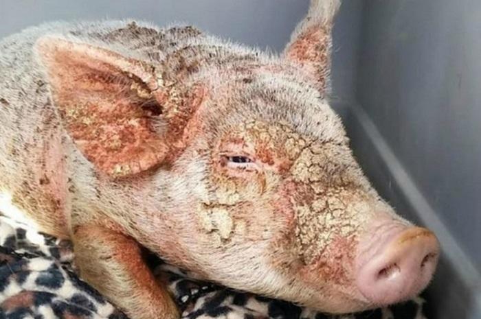 корка на коже свиней