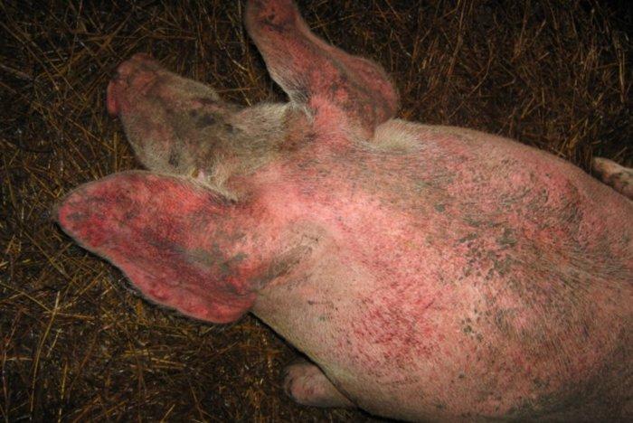 кожный клещ свиней