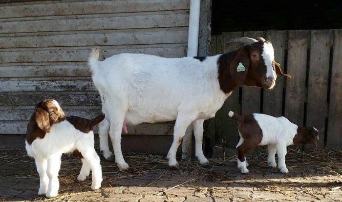 Бурская коза и два козленка