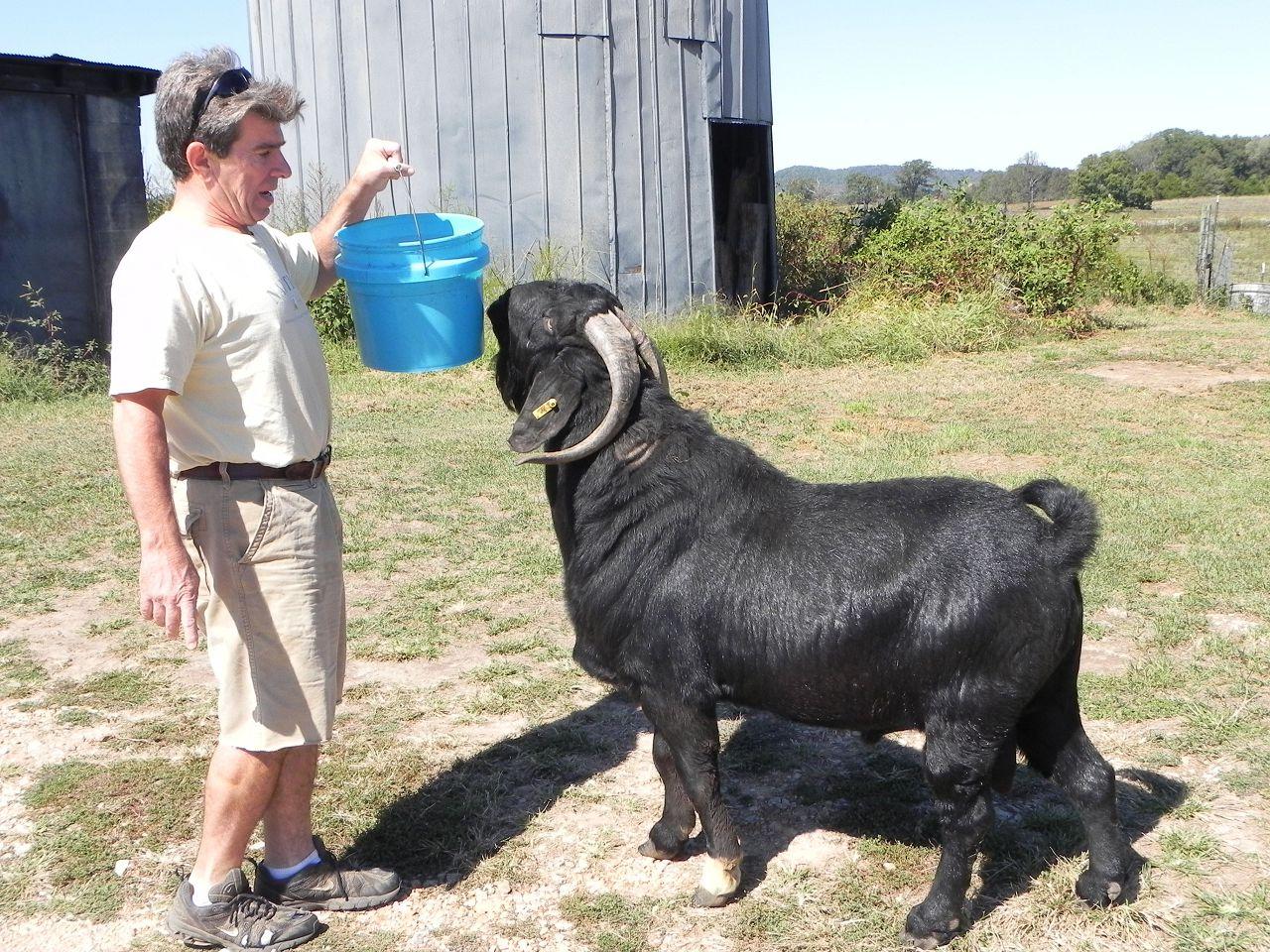 Черная бурская коза