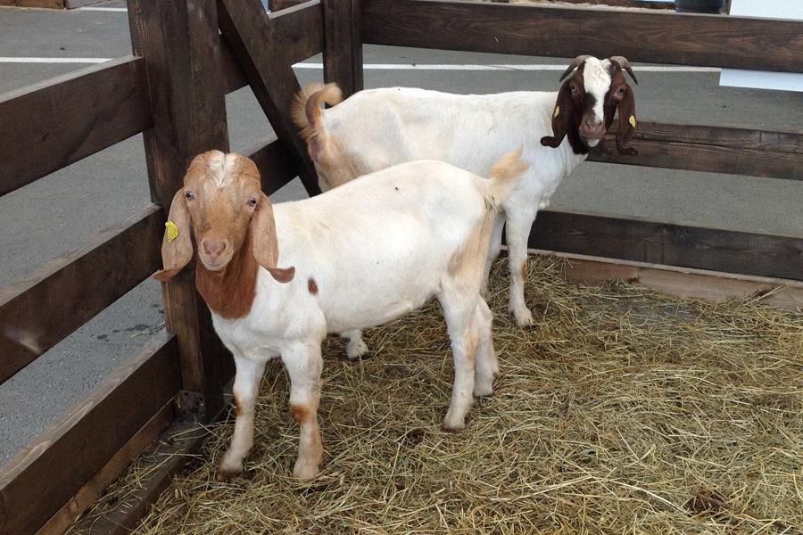 Две бурские козы в загоне