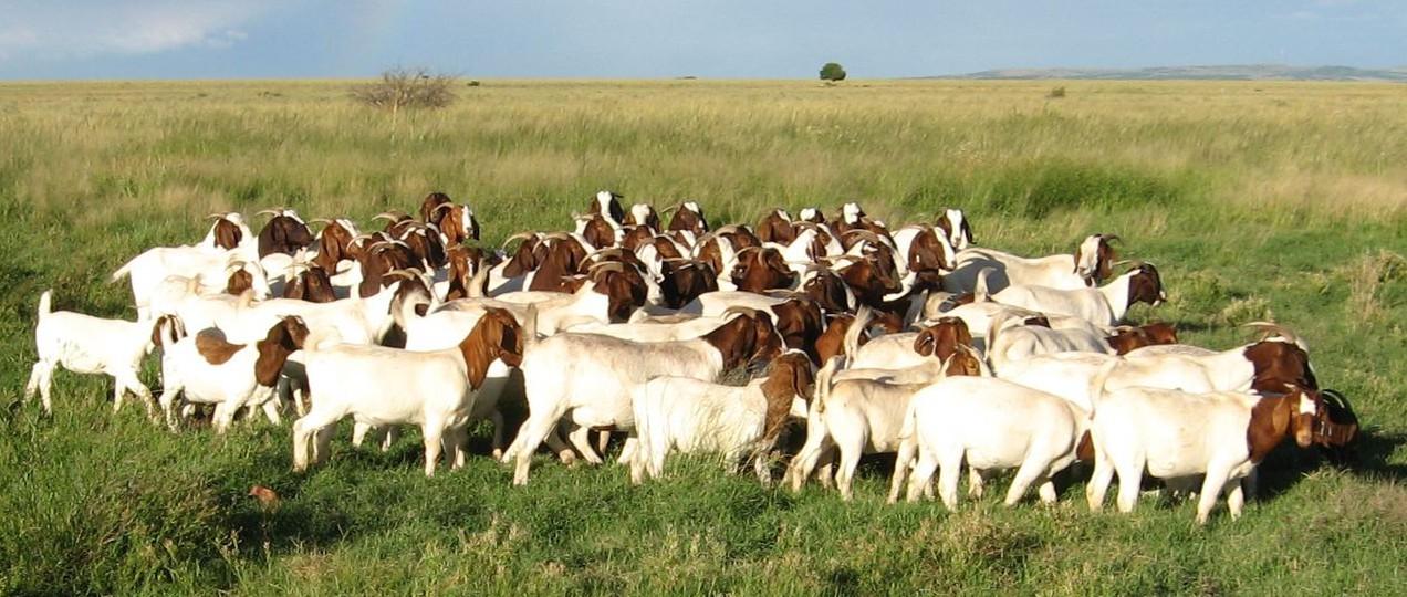 Стадо коз бурской породы