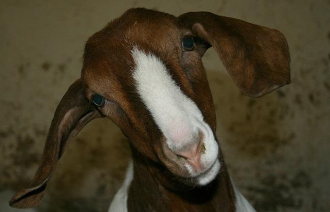 Смешная коза смотрит в объектив
