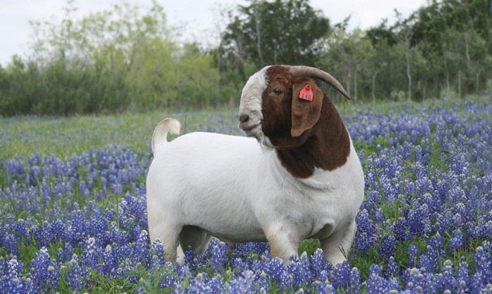 Бурская коза в цветах