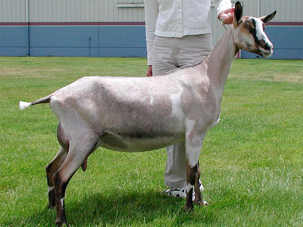 Светлая альпийская коза
