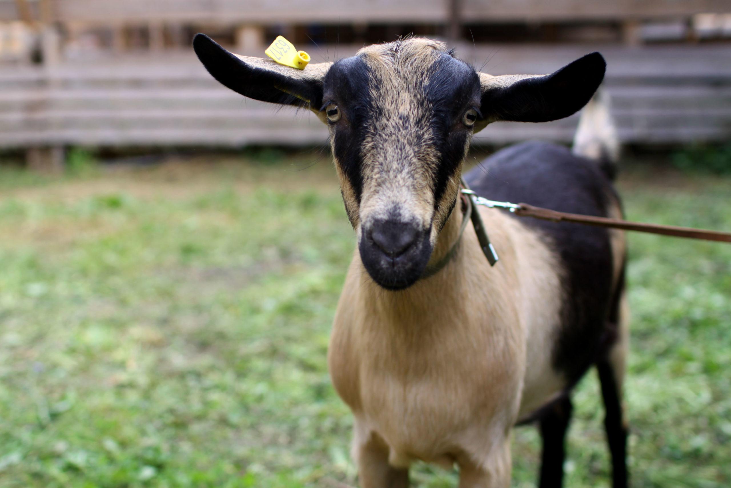 Коричневатая альпийская коза