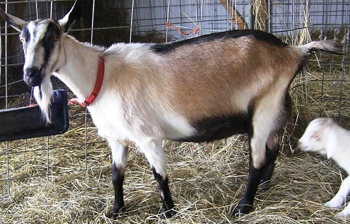 Коза с козленком альпийской породы