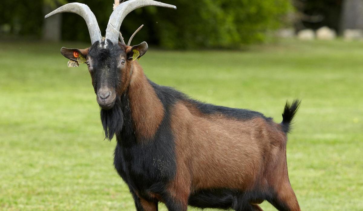 Коричневый Альпийский козел