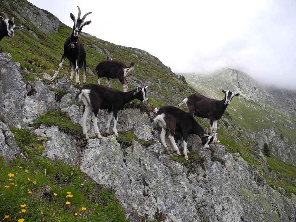 Альпийские козлы стадо
