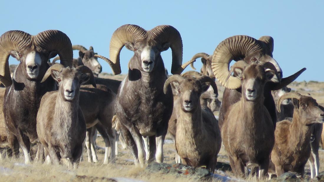 Стадо Алтайских баранов