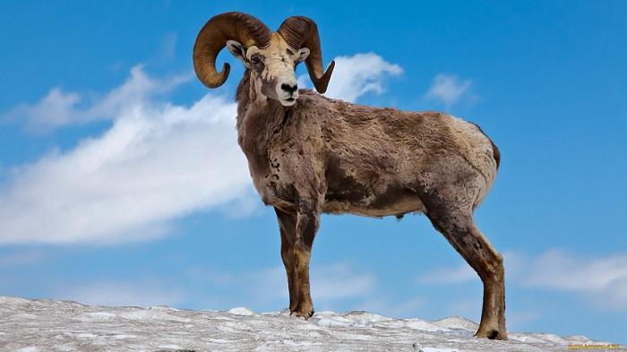 Горный Алтайский баран