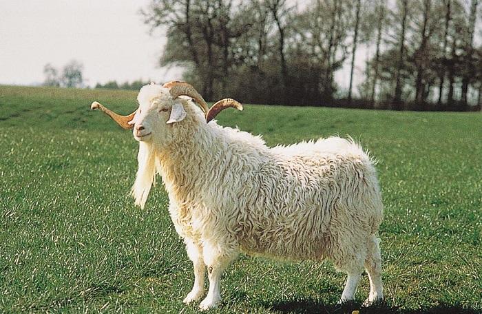 Кудрявая коза на зеленом лугу