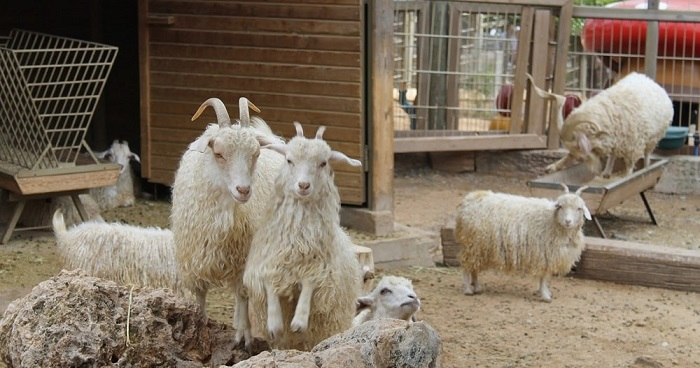Ангорские козы развлекаются