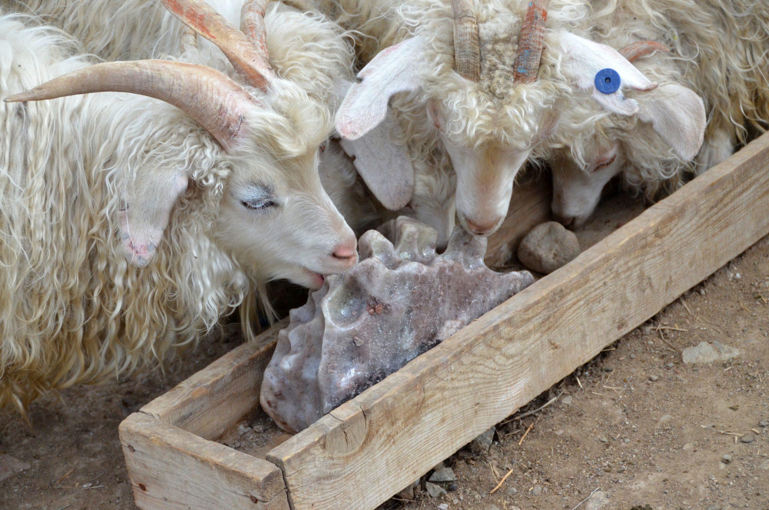 Кудрявые козы кушают