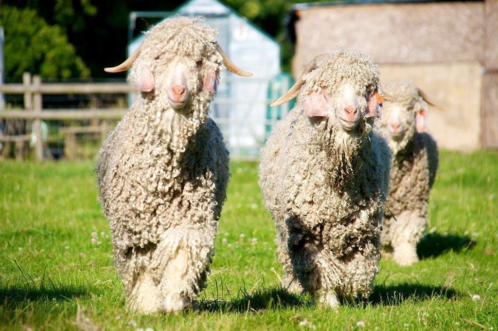 Бегущие овцы