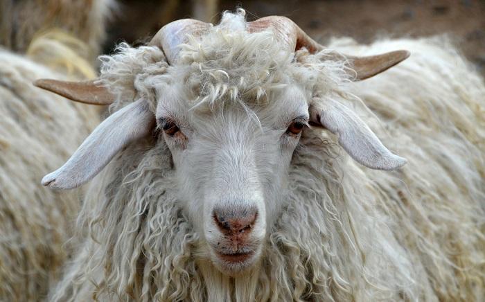 Голова Ангорской козы