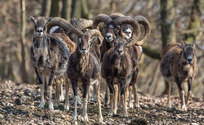 Стадо баранов с большими рогами