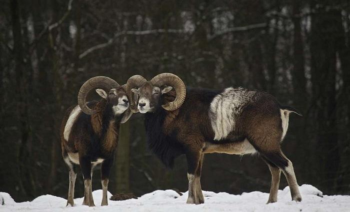 Размножение баранов муфлон