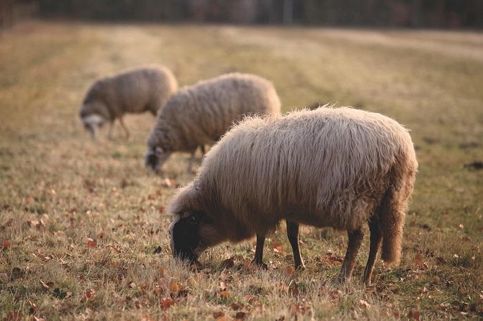 овцы в сухом поле