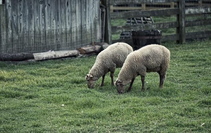 две овцы в поле возле сарая