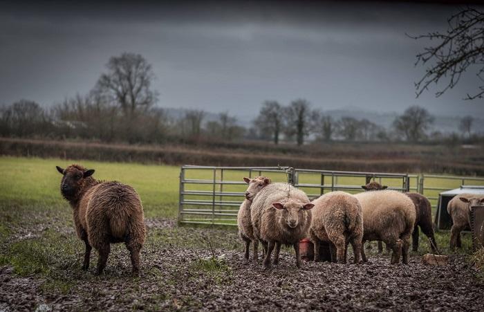 бараны в поле возле загона