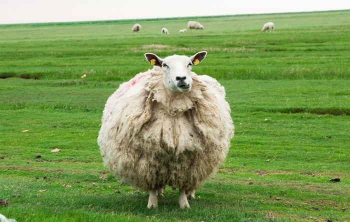 круглая овца