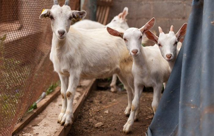 Белые козы смотрят в кадр