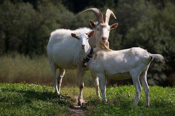 Коза и козел белый